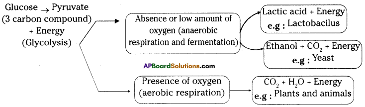 AP SSC 10th Class Biology Important Questions Chapter 2 Respiration 19