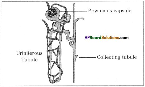AP SSC 10th Class Biology Important Questions Chapter 4 Excretion 2
