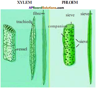 AP Board 9th Class Biology Important Questions Chapter 2 Plant Tissues 13