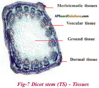 AP Board 9th Class Biology Important Questions Chapter 2 Plant Tissues