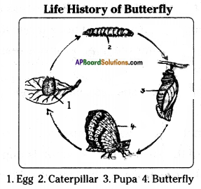 AP Board 8th Class Biology Solutions Chapter 4 Reproduction in Animals 10