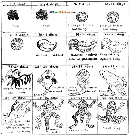 AP Board 8th Class Biology Solutions Chapter 4 Reproduction in Animals 16