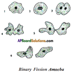 AP Board 8th Class Biology Solutions Chapter 4 Reproduction in Animals 20