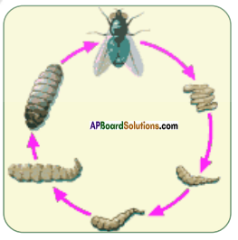 AP Board 8th Class Biology Solutions Chapter 4 Reproduction in Animals 8
