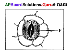 AP 10th Class Biology Bits Chapter 1 Nutrition 12