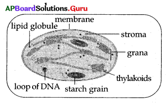 AP 10th Class Biology Bits Chapter 1 Nutrition 13
