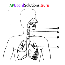 AP 10th Class Biology Bits Chapter 2 Respiration 2